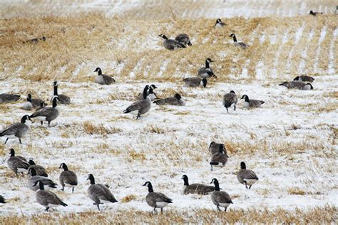 layout hunting decoy spreads small canada goose decoy spread canada goose coats