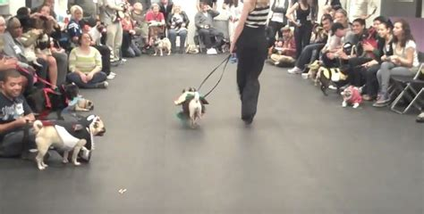 pug meetup nyc this past nyc pug meetup is i wish i could