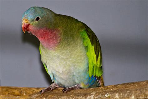 Princess Parrot princess parrot fantastic pet encyclopedia uk