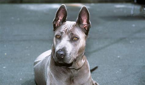 thai ridgeback puppies thai ridgeback breed information