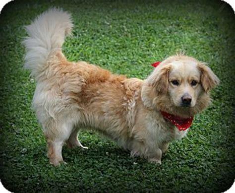 golden retriever basset hound mix pet not found