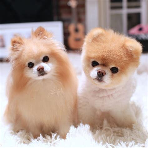 buddy pomeranian 17 best images about boo buddy the pomeranians on angry cutest