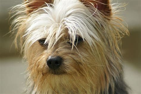 does a yorkie shed yorkie pomeranian mix shed 28 images do yorkie poms shed 52 images do yorkies shed