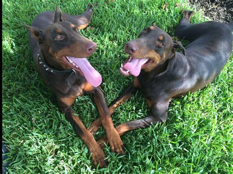 puppies for sale saratoga ny doberman pinscher puppies for sale near ivanhoe akc marketplace