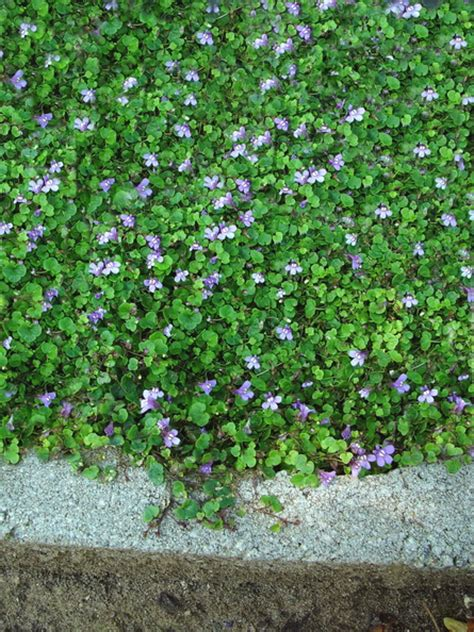 Patio Ground Cover by Patio Ground Cover Ideas Cymbalaria Aequitrilobia Mini