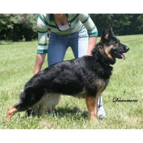 free dogs in ct grafenstein german shepherd breeder in willington connecticut
