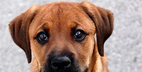 Top 10 des plus beaux et 233 tonnants chiens crois 233 s boxer