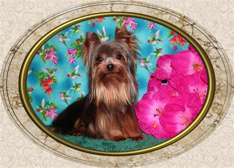 velvet touch yorkies page 6 velvet touch yorkies d o b height weight information