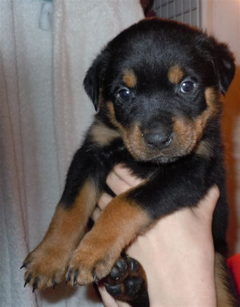 dew claws rottweiler puppy pictures