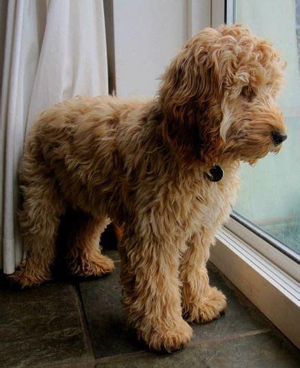 cocker spaniel poodle puppies best 25 show cocker spaniel ideas on cocker breeds cocker spaniel pups