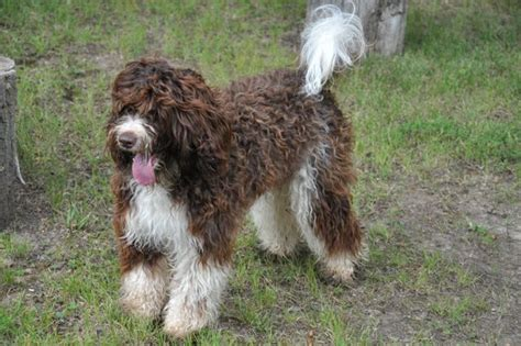 labradoodle puppies for sale in va best 25 labradoodle breeders ideas on chocolate lab breeders