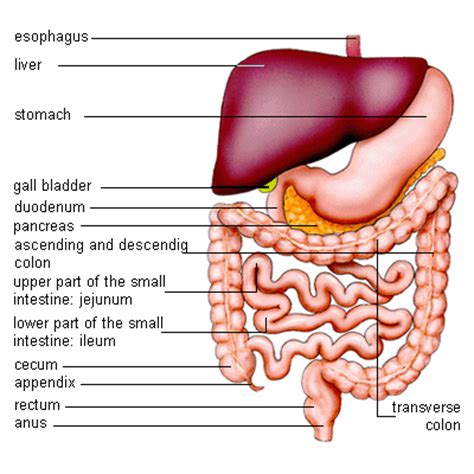 diagram of the intestines supreme distribution