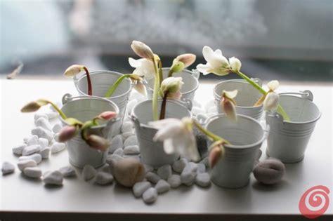 rosa di natale in vaso l elleboro o rosa di natale un fiore da giardino e da