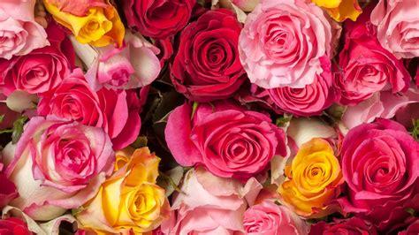 colorful roses wallpaper in romantic roses wallpaper roses colorful red roses pink roses hd 5k