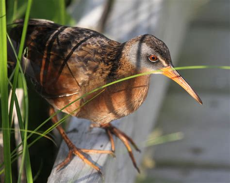 carolina bird club photo gallery