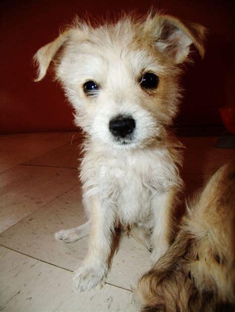 schnauzer pomeranian mix puppies 10 schnauzer cross breeds you to see to believe