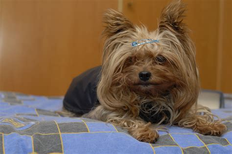 best way to a yorkie puppy 12 best ways to introduce your terrier to your baby reference