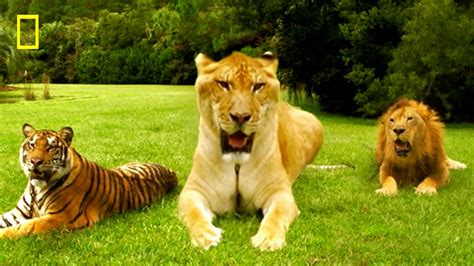 Liger Facts Picture And Images