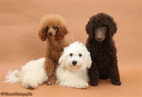 goldendoodle puppy with diarrhea 21 best images about animals on guinea