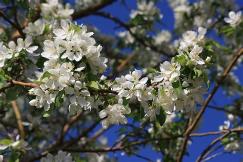 white flowers on crabapple tree picture free photograph