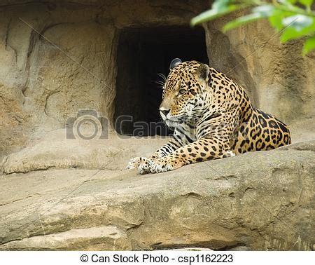 imagenes del jaguar panthera onca stock de fotos de panthera onca jaguar grande
