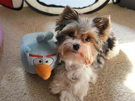 haircuts for toy yorkies 280 best yorkies images on pinterest