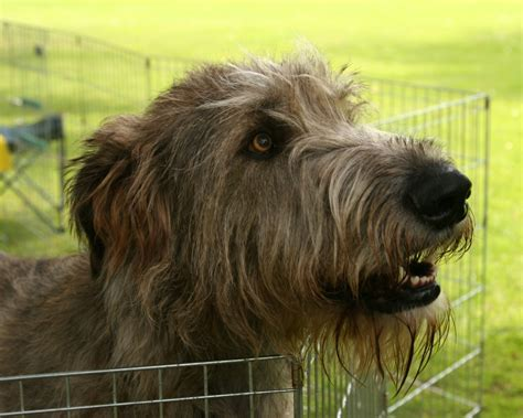 wolfhound puppy wolfhound dogs wallpaper 13248564 fanpop