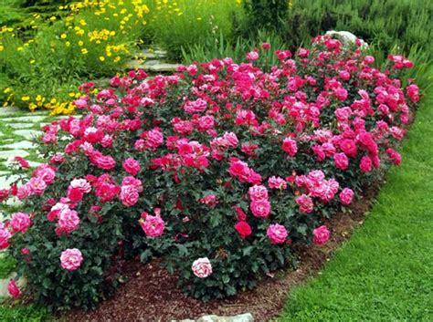 grossi fiori da giardino tappezzanti rifiorenti