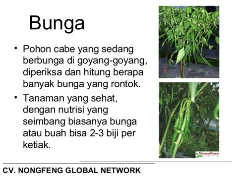 Sale Sambal Pohon Cabe 1 Kg teknis budidaya tanaman cabe upload