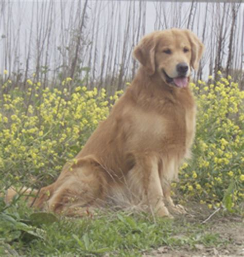 different types of golden retrievers golden retriever sitting