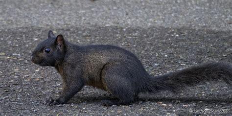 Are Black Squirrels Common In The Bay Area Bay Nature Black Squirrel