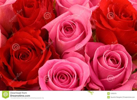 red and pink pink and red roses royalty free stock images image 1333379