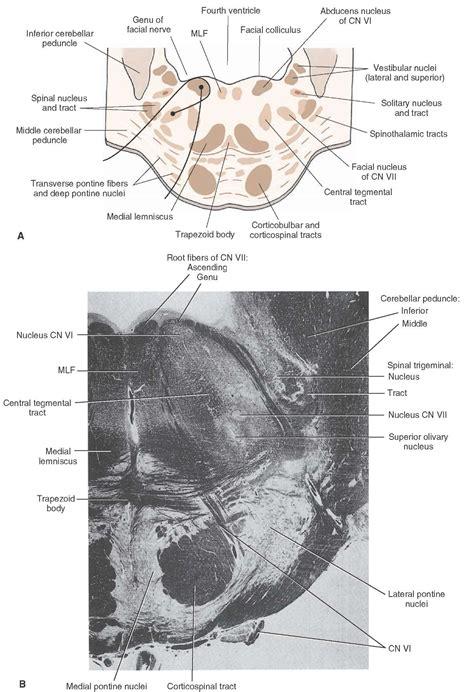 pons transverse section brainstem ii pons and cerebellum part 2