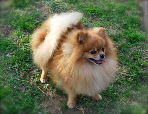 how to house a pomeranian chocolate pomeranian puppy hairstylegalleries