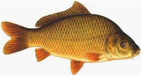 cara membuat umpan ikan mas yang murah image gallery ikan