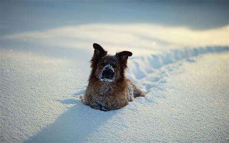 animals dog snow wallpapers hd desktop  mobile