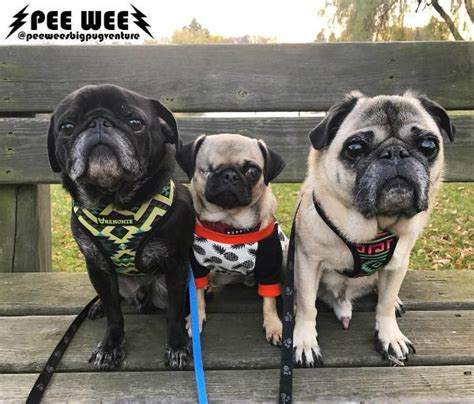 pug brothers wee the pug heals from a ruptured eye and finds his forever family