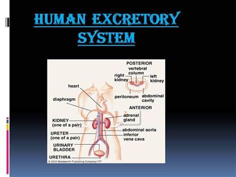 powerpoint templates urinary system human excretory system authorstream