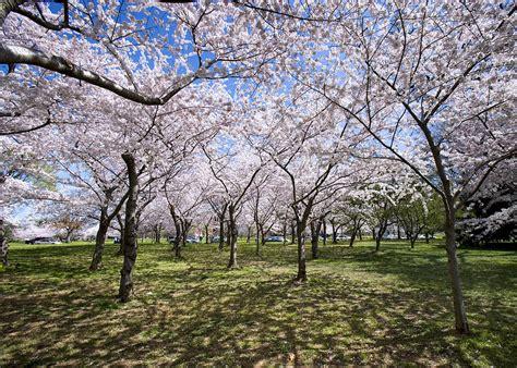 washington d c cherry trees amid cherry trees washington d c cherry blossom festival photograph by brendan reals