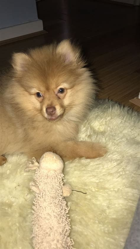 golden pomeranian puppies pomeranian puppy with golden brown fur central pets4homes