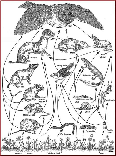coloring pages of food webs food web coloring pages coloring home