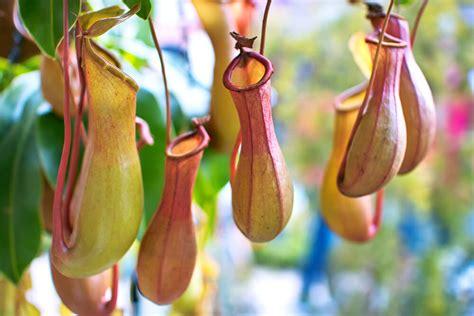 tropical pitcher plant san diego zoo animals plants