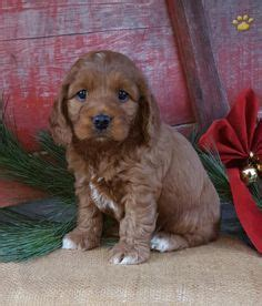 puppies lancaster pa puppies for sale on puppies for sale jug