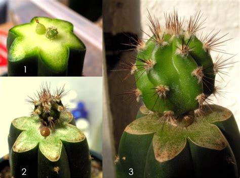 carnegia gigantea saguaro grafting cacti succulents the corroboree