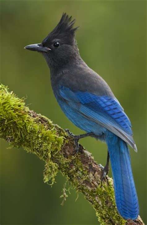 british columbia bird www pixshark com images