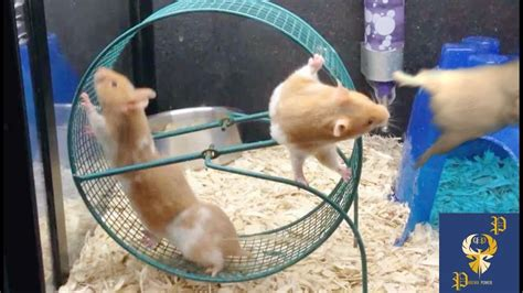 Wheel Hamster Kincir Hamster Mainan Hamster hamsters are trying new running wheel part 2