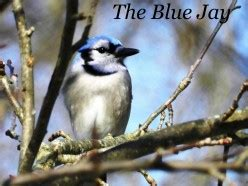 how to attract blue jays to your backyard how to attract goldfinches to your backyard feeder