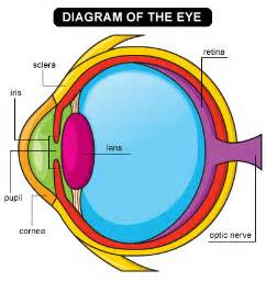 what part of the eye is colored your