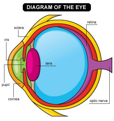 schematic section of the human eye lens