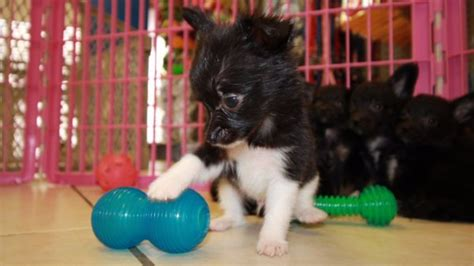 chion puppies for sale chion puppies for sale local breeders near atlanta ga at puppies for sale